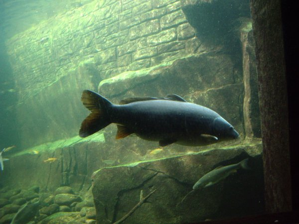 Federation of british aquatic societies for What does carp mean