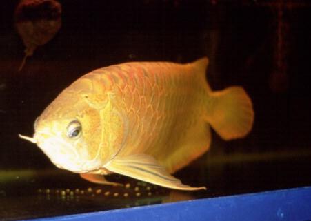 Arowana Dragon Fish | Federation Of British Aquatic Societies