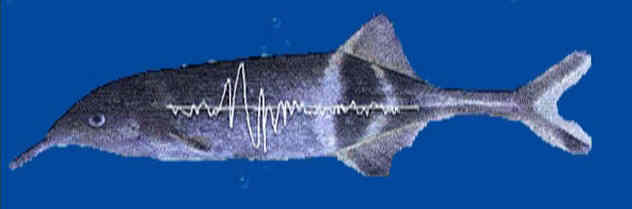 To receive electric signals, either from other fish or from echoes of its own discharge, the Elephant-Nose fish has...