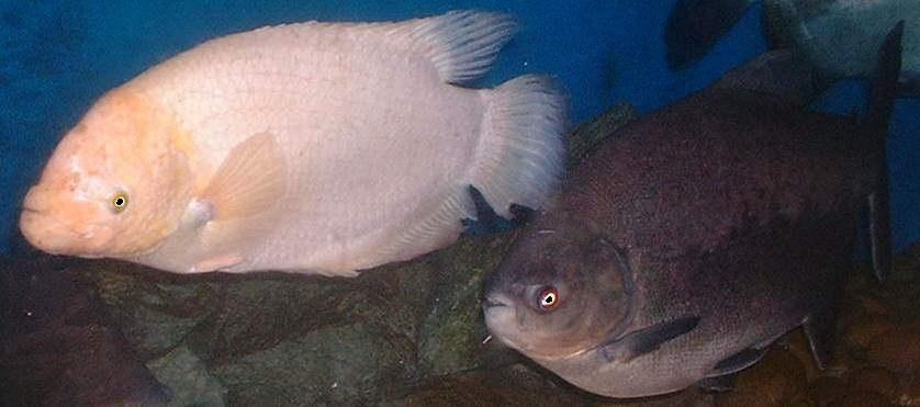Federation of british aquatic societies for Land big fish