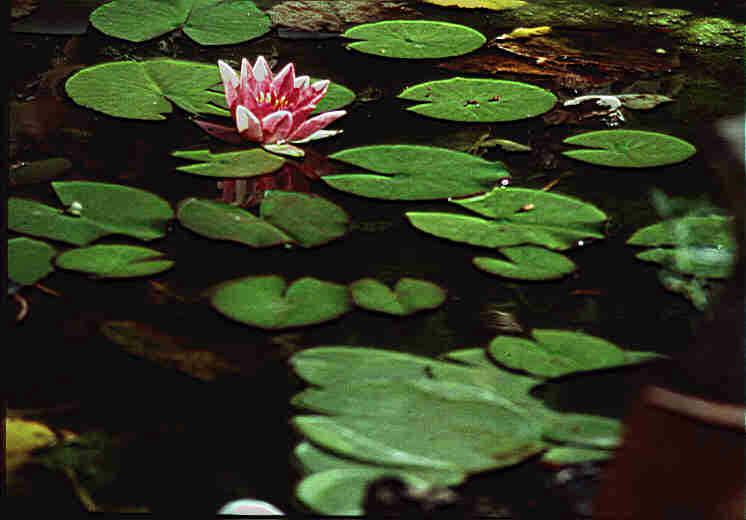 Pond plants for Deep pond plants