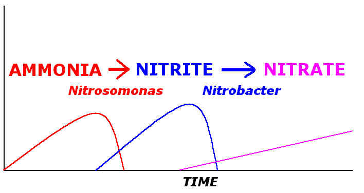 Hints the nitrogen cycle as can be seen from the above diagram all wastes begin with ammonia but are converted into nitrite by nitrosomonas bacteria living in the biological ccuart Images